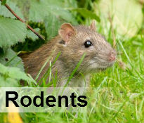 rodent control durban